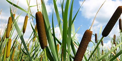 Low-angle closeup image of cattails against a blue sky with fluffy white clouds